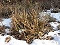 Calluna vulgaris sl22.jpg
