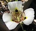 Calochortussuperbus2.jpg