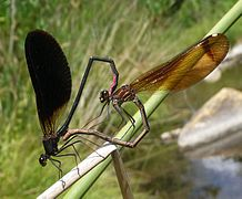 Bộ sưu tập Côn trùng - Page 3 218px-Calopteryx_haemorrhoidalis._Copper_Demoiselle._-_Flickr_-_gailhampshire_%284%29