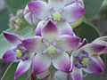 Calotropis procera R.Br - Flickr - lalithamba.jpg