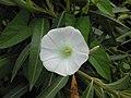 Calystegia sepium (Campanula).jpg