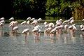 Camargue - Repos des flamants roses.JPG