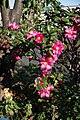 Camellia Sasanqua サザンカ (130802011).jpeg