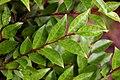 Camellia japonica × Camellia lutchuensis 'Cinnamon Cindy'.jpg