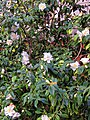Camellia pale pink cultivar in Postman's Park, City of London, England.jpg