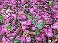 Camellia sasanqua Thunb. (AM AK312698-1).jpg