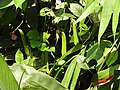 Canavalia gladiata-3-peppara wildlife-kerala-India.jpg