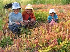 Chenopodium pallidicaule wikipedia la enciclopedia libre - Banco de alimentos wikipedia ...