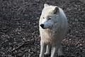 Canis lupus arctos IMG 9115.jpg