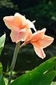 Canna - Indian Botanic Garden - Howrah 2012-09-20 0081.JPG