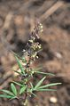 Cannabis sativa (7984960661).jpg