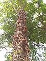 Cannon ball tree..in botany garden.kolkata.jpg