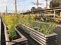 Canola flowers on platform of Kashii Station 2.jpg