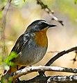 Cape Robin-Chat (Cossypha caffra) (32612489066).jpg