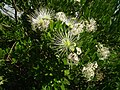 Capparis tomentosa Tanzania 4543 Nevit.jpg