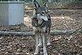 Captive male red wolf at Sandy Ridge (6350490293).jpg