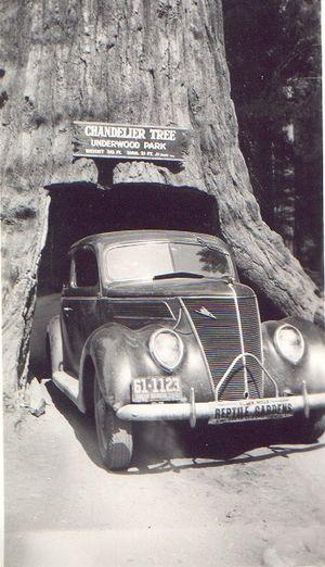 Chandelier Tree - Image: Car Redwood Leggett