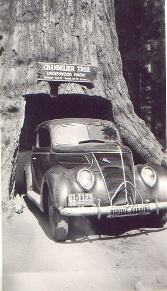 Chandelier Tree - Image: Car Redwood Leggett