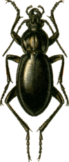 Carabus miles Jacobson.png