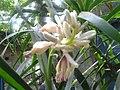 Cardimomum flower( elaichi).jpg