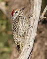 Cardinal Woodpecker - MALE, Dendropicos fuscescens at Pilanesberg National Park, Northwest Province, South Africa (15091958705).jpg