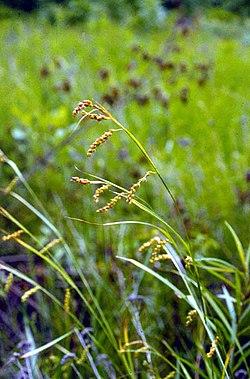 Carex davisii.jpg