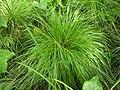 Carex elongata2.JPG