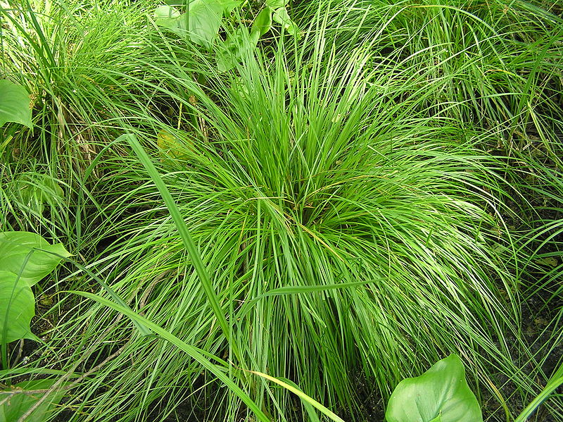 File carex elongata2 jpg wikimedia commons for Plante grasse exterieur