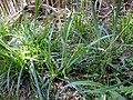 Carex pendula plant (9).jpg
