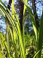 Carex pilosa sl29.jpg