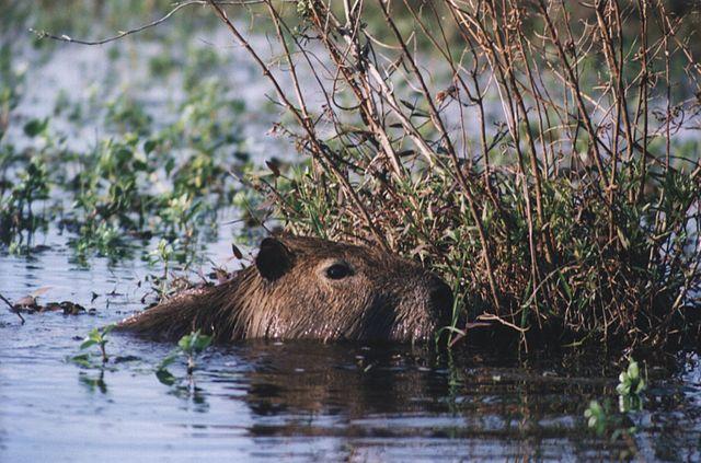 Capibara nadando Corrientes - Argentina