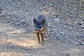 Catalina Island Fox (Urocyon littoralis catalinae) looking at camera.jpg