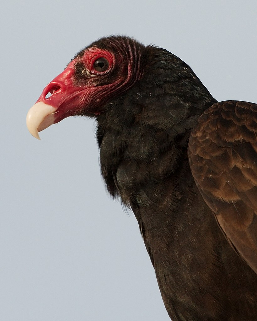 an introduction to the medicine teachings of turkey vulture