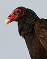 Cathartes aura -Florida -USA -upper body-8.jpg