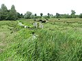 Cattle grazing marsh pasture at Chedgrave Carr - geograph.org.uk - 1362458.jpg