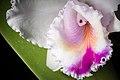 Cattleya quadricolor (25163837958).jpg