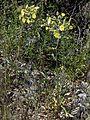 CazAndryalaIntegrifolia1.jpg