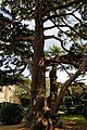 Cedar lawn south front Quex House Birchington Kent England 2.jpg