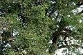 Ceiba (Ceiba pentandra) (14581916802).jpg