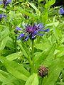 Centaurea montana100610 012.jpg