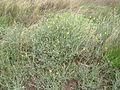 Centaurea solstitialis plant3 (12094178755).jpg