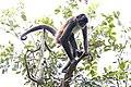 Central American Spider Monkey - Ateles geoffroyi, Tikal, Peten, Guatemala.jpg