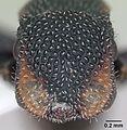 Cephalotes fiebrigi casent0173680 head 1.jpg