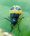 Cerambycidae^ Longhorn beetle - Flickr - gailhampshire.jpg