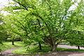 Cercidiphyllum japonicum - Morris Arboretum - DSC00355.JPG