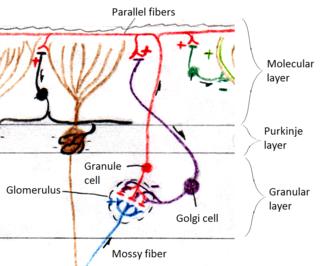 Glomerulus (cerebellum)