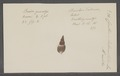 Cerithium tuberculatum - - Print - Iconographia Zoologica - Special Collections University of Amsterdam - UBAINV0274 083 05 0022.tif