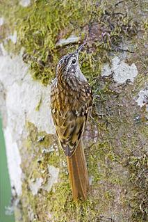 Humes treecreeper species of bird