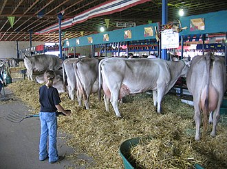 Western Idaho Fair - A young girl takes care of dairy cattle.