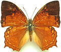 Charaxes pleione from CAR.jpg
